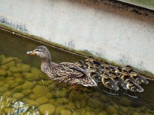The mother duck and ducklings following their rescue.
